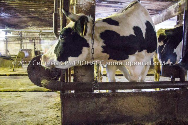 Коровы очень любят точный учет молока на ферме